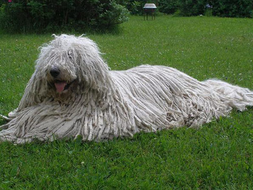 Komondor Dog Pictures Komondor Dog Pictures