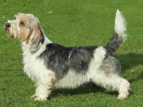 Petit basset griffon vendeen dog pictures - Petit basset hound angers ...