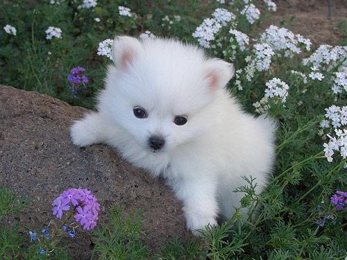 American Eskimo Dog For Sale Ohio