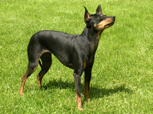 manchester toy terrier - photo #20
