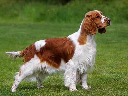 Welsh Springer Spaniel Temperament Welsh Springer Spaniel Dog