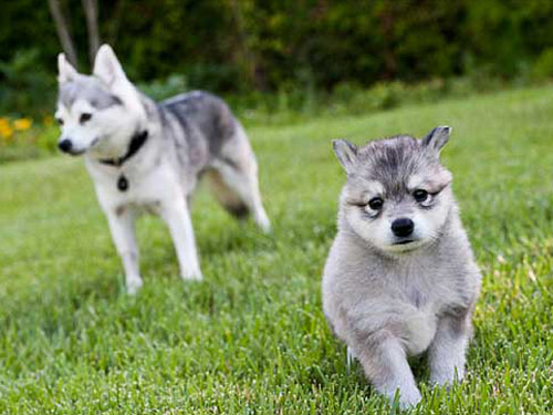 35+ Anjing alaska terupdate