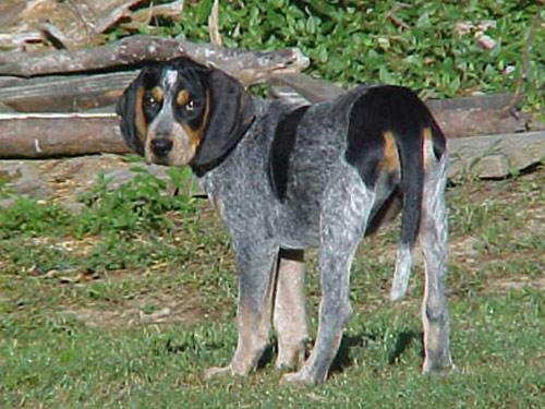 Bluetick Coonhound Bluetick Coonhound House Dog