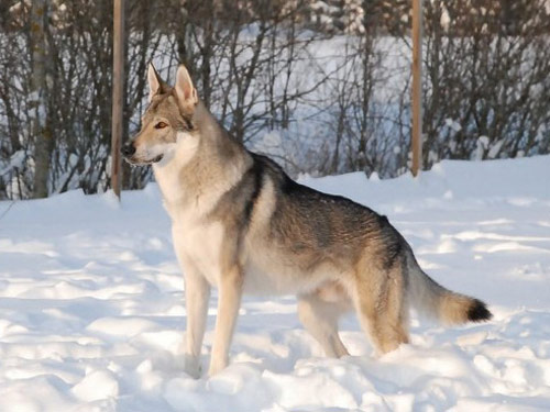 Silver czechoslovakian wolfdog - photo#12