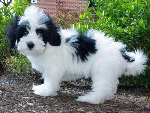 Lhasapoo Dog