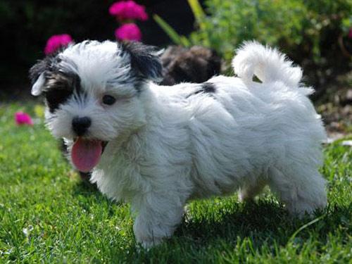 Morkie Yorktese Dog