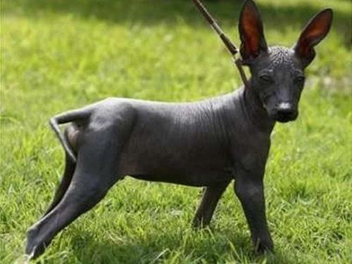 Peruvian Inca Orchid dog