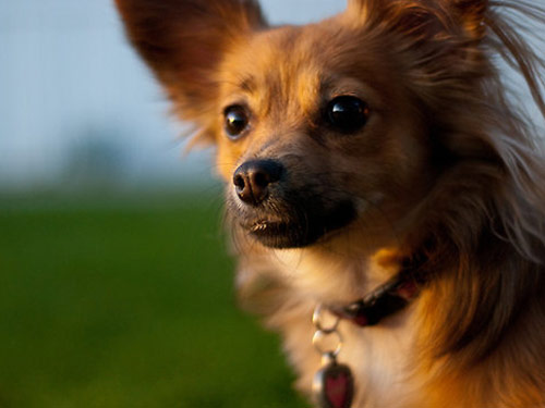 Dog Breeds Dog Breeds List A Z Dogs Photo Gallery Language Bar Black And White Short Hair Chihuahua