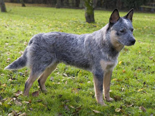 Queensland Blue Heeler Dogs http://bib.ge/dogs/open.php?id=2343