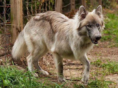 Wolfshybrid Rassen