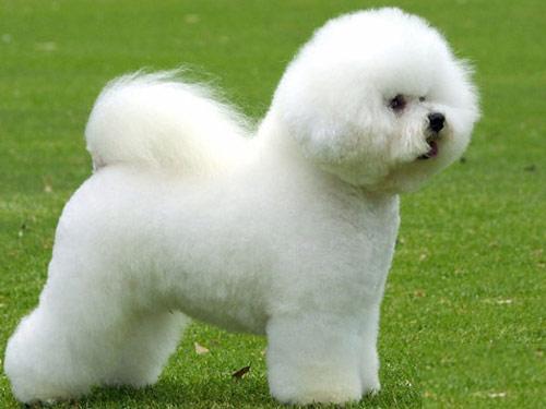 Bichon Frise anjing ras