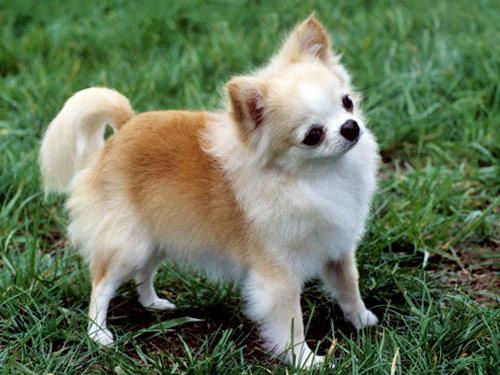 Chihuahua Anjing Ras
