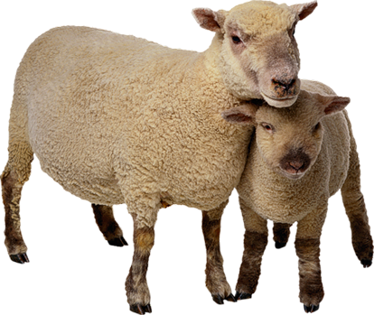 Sheep Breeds List