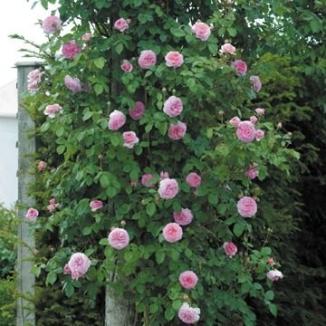 James Galway Climbing - Rose Varieties | VARDI | ვარდი