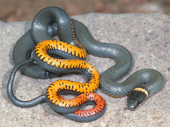 snake species diadophis punctatus regalis regal ring