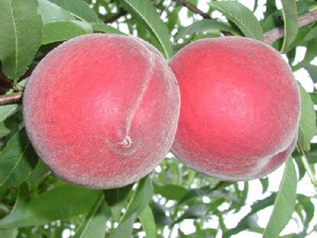 Desiree - Peach Varieties