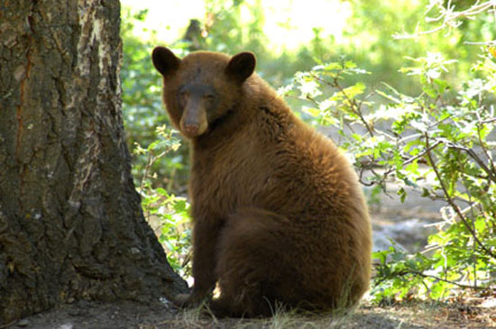 Cinnamon Bear  - bears species | datvis jishebi | დათვის ჯიშები