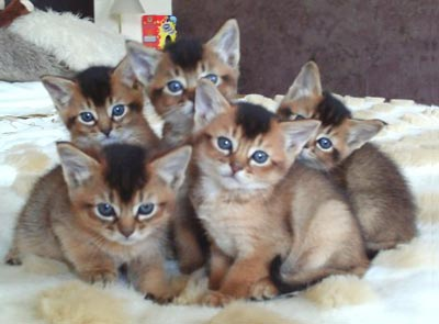 Cat Breeds Somali Cat Information