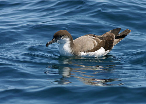 Buller's Shearwater  - Bird Species | Frinvelis jishebi | ფრინველის ჯიშები