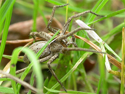 Nursery Web Spider - Spider species | OBOBAS JISHEBI | ობობას ჯიშები