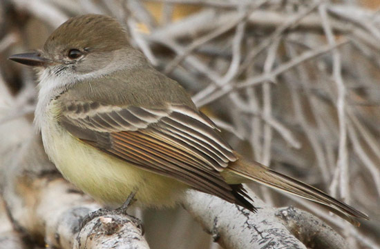 Nutting's Flycatcher - Bird Species | Frinvelis jishebi | ფრინველის ჯიშები