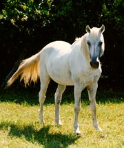 Horse Breeds Florida Cracker
