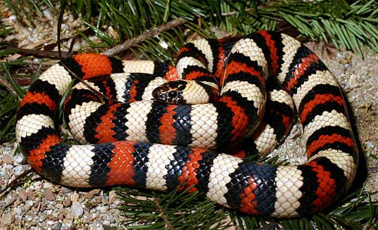 A Guide to the Amphibians   and Reptiles of California	  Lampropeltis zonata multifasciata - Coast Mountain Kingsnake - snake species | gveli | გველი