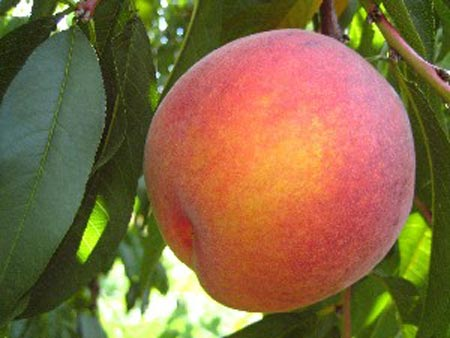 Laurol - Peach Varieties