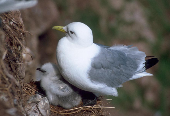 Black-legged Kittiwake - Bird Species | Frinvelis jishebi | ფრინველის ჯიშები