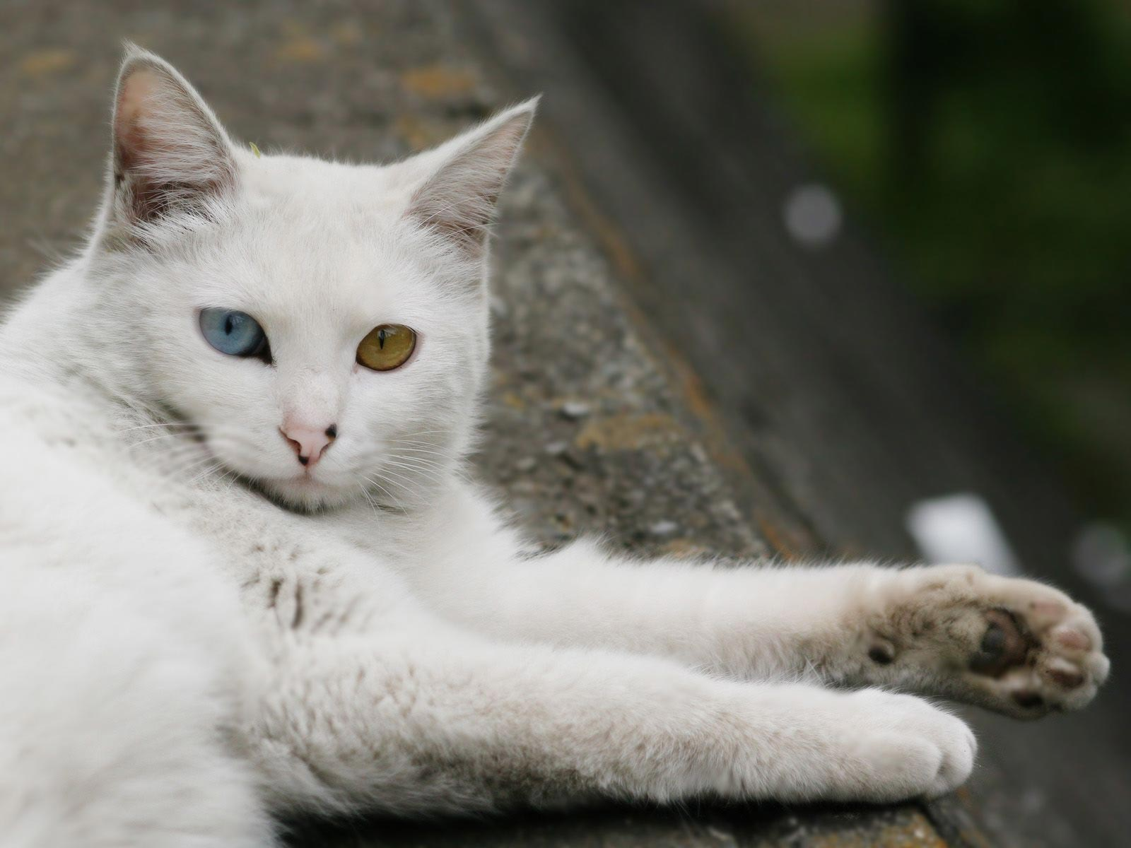 ... angora is a medium cat with a glistening and beautiful coat the head