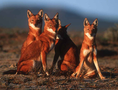 The Ethiopian Wolf - wolf species | mglis jishebi | მგლის ჯიშები