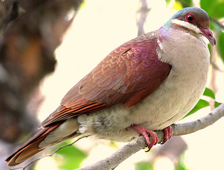 Key West Quail-Dove - Bird Species | Frinvelis jishebi | ფრინველის ჯიშები
