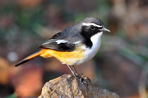 White-throated Robin - Bird Species | Frinvelis jishebi | ფრინველის ჯიშები