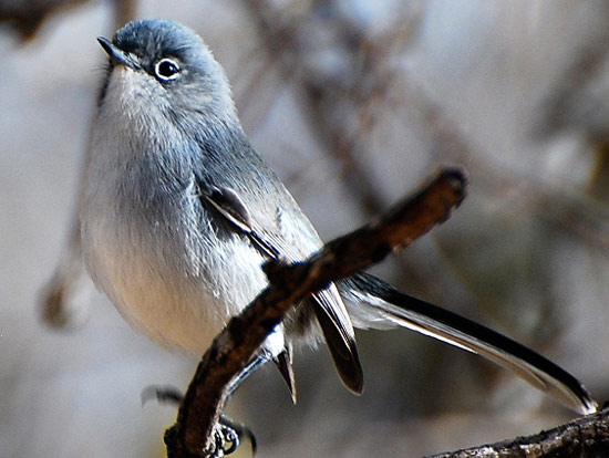 Black-capped Gnatcatcher - Bird Species | Frinvelis jishebi | ფრინველის ჯიშები