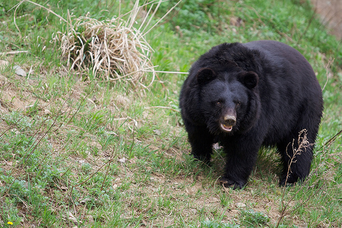 Japanese Black Bear - bears species | datvis jishebi | დათვის ჯიშები