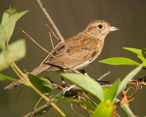 Bachman's Sparrow - Bird Species | Frinvelis jishebi | ფრინველის ჯიშები