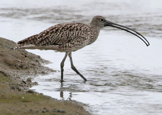Far Eastern Curlew - Bird Species | Frinvelis jishebi | ფრინველის ჯიშები