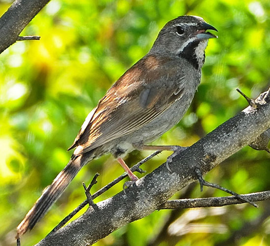 Five-striped Sparrow - Bird Species | Frinvelis jishebi | ფრინველის ჯიშები