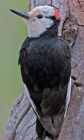 White-headed Woodpecker - Bird Species | Frinvelis jishebi | ფრინველის ჯიშები