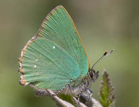 Green Hairstreak - Butterfly species | PEPLIS JISHEBI | პეპლის ჯიშები