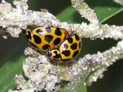 Common Spotted Ladybirds mating - Ladybirds species | CHIAMAIAS JISHEBI | ჭიამაიას ჯიშები