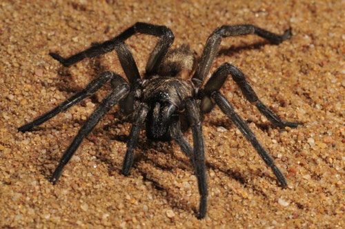 Brush-footed Trapdoor Spider - Spider species | OBOBAS JISHEBI | ობობას ჯიშები