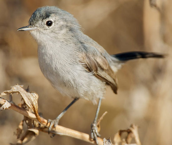 California Gnatcatcher - Bird Species | Frinvelis jishebi | ფრინველის ჯიშები