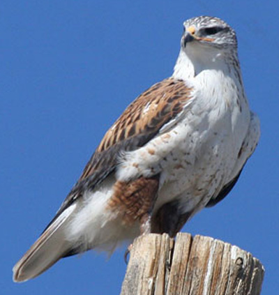 Ferruginous Hawk - Bird Species | Frinvelis jishebi | ფრინველის ჯიშები