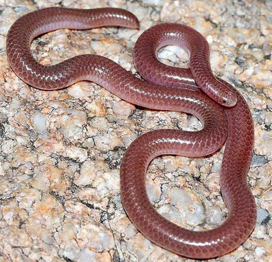 NEW MEXICO THREADSNAKE <br /> Leptotyphlops dissectus - snake species | gveli | გველი