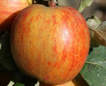 Ribston Pippin - Apple Varieties