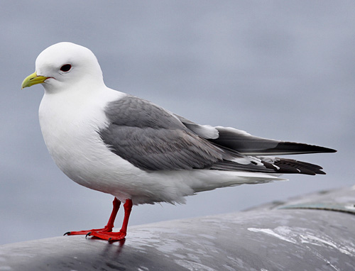 Red-legged Kittiwake - Bird Species | Frinvelis jishebi | ფრინველის ჯიშები