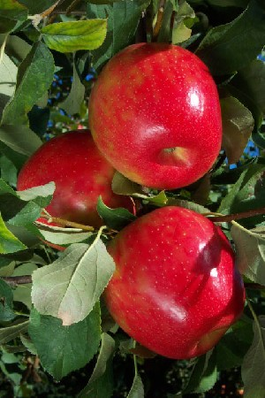 Honeycrisp - Apple Varieties