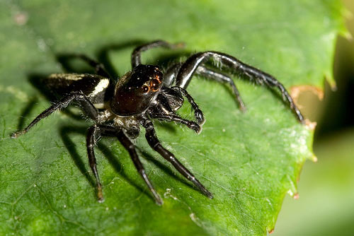Biting Jumping Spider - Spider species | OBOBAS JISHEBI | ობობას ჯიშები