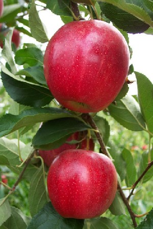 Crimson Gala - Apple Varieties